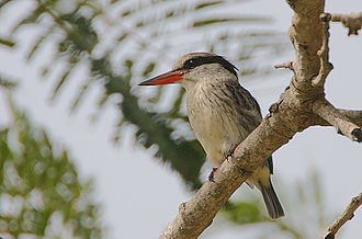 1814 in birding and ornithology -  The Striped kingfisher was described by Edward Smith-Stanley, 13th Earl of Derby in 1814 in Remarks on the birds of Abyssinia