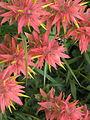 Flickr - brewbooks - Bee on Red Paintbrush, Spider Meadow.jpg