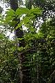 Flickr - ggallice - Amazonian coca.jpg