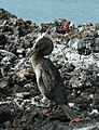 Flightless Cormorant (Phalacrocorax harrisi) -Galapagos 2006.jpg