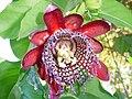 Flor de maracujá.JPG