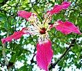 Flor de paineira (317438682).jpg