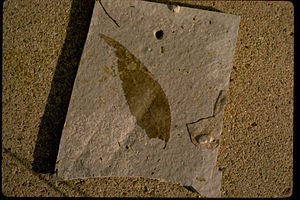 Florissant Fossil Beds National Monument - Fossilised leaf preserved in fine detail
