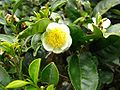 Flower in a tea plant at a Darjeeling Tea plantation.jpg