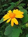 Flower in family Asteraceae.jpg