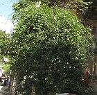 Flower mullai paari.jpg