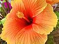 Flowering Hibiscus.jpg