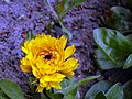 Flowers of Iran گلهای ایران 30.jpg