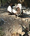 Ford Park, Muscovy Duck and Baby, Redlands, CA 7-12 (7747338956).jpg