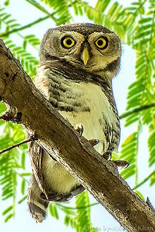 林斑小鸮,摄于Melghat Tiger Reserve