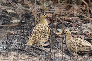 Four-banded sandgrouse Species of bird