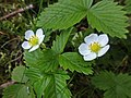 Fragaria vesca (Rosaceae) - (flowering), Arnhem, the Netherlands.jpg