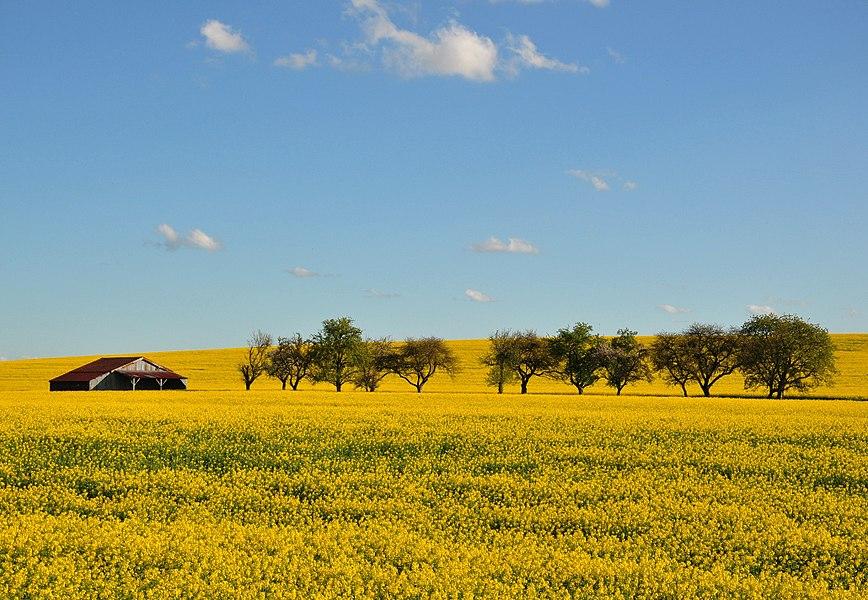 Rapeseed fields. Spring in Autrécourt-sur-Aire (canton Seuil-d'Argonne, Meuse department, Lorraine region, France).
