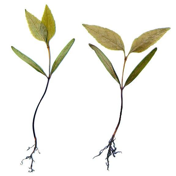 Fraxinus americana seedlings