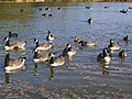 Friendly wildfowl - Belhus Woods - geograph.org.uk - 607624.jpg