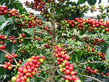 fruit du caféier