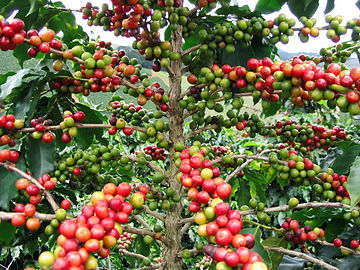 Red Catucaí Coffee, a variety of Coffea arabica at various stages of maturation. This image was taken in Matipó City, Minas Gerais State, Brazil.