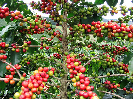 Coffee is one of the most important exports of Nicaragua. It is grown in Jinotega, Esteli, Nueva Segovia, Matagalpa and Madriz, and exported worldwide through North America, Latin America, Europe, Asia and Australia. Many coffee companies, like Nestle and Starbucks, buy Nicaraguan coffee. FruitColors.jpg