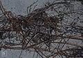 Fruits on straggling Cassytha filiformis. Little San Salvadore (38839567362).jpg