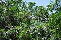 FruittreeIxca1.JPG