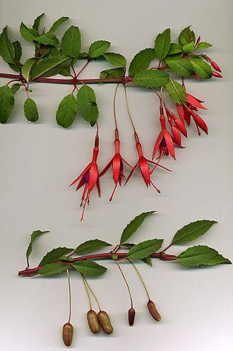 Fuchsia magellanica - Image: Fuchsia magellanica