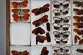 Fulgoridae Drawers - 5036081045.jpg