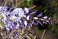 Funchal, Monte - Wisteria sinensis (Chinesischer Blauregen) IMG 1926.JPG