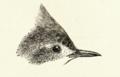 Furnarius cristatus.png