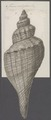 Fusus colosseus - - Print - Iconographia Zoologica - Special Collections University of Amsterdam - UBAINV0274 083 07 0002.tif