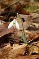 Galanthus nivalis PID747-1.jpg