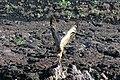 Galapagos Owl on Genovesa Island (Tower Island) Galapagos - panoramio.jpg