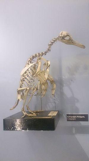Galapagos penguin - Skeleton