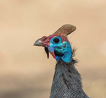 Helmeted guineafowl (Numida meleagris), Kruger National Park, South Africa.