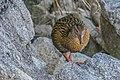 Gallirallus australis in Abel Tasman NP 06.jpg