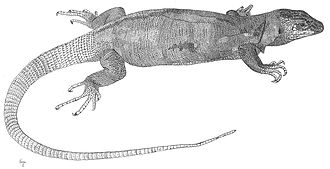 Technical illustration - Gallotia simonyi, example of pen and ink scientific illustration