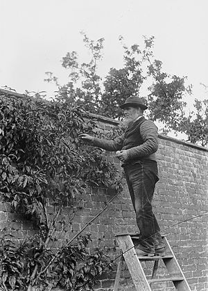 Gardener - Gardener on a stepladder collecting fruit c.1910