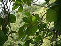 Gardenia latifolia (9878522415).jpg