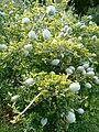 Gardenia ternifolia ssp jovis-tonantis KirstenboshBotGard09292010D.JPG