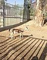 Gazelle in ouargla.jpg