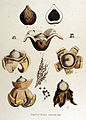 Geaster triplex — Flora Batava — Volume v15.jpg