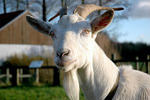 Goat at a petting zoo in Bornem, Belgium