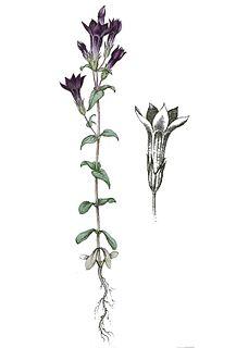 <i>Gentianella amarella</i> species of plant