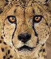 Gepardenporträt.jpg
