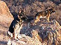 German Shepherds in ravine.jpg