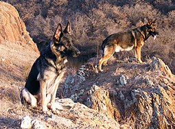 German Shepherd Breeders