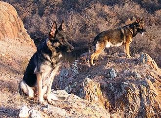 German Shepherd - Sable German Shepherds. Female (left), male (right).