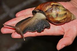 Giant African Snail (Achatina fulica) - An Invasive Species in Hong Kong (6164957561).jpg