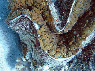 Giant clam - Image: Giant clam detail
