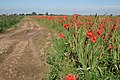 Gladioli field near Penny Hill - geograph.org.uk - 535627.jpg