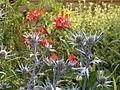 Gladiolus cardinalis & Eryngium bourgatii (9344368816).jpg